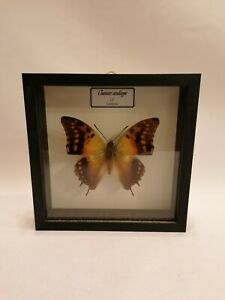 BUTTERFLY-MOTH-TAXIDERMY-CHARAXES-CANDIOPPE-WOODEN-FRAMED-13CM-UK-SELLER