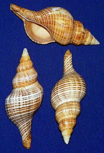 """Fasciolaria Filamentosa Fusi Conch Seashells 3/""""-4/""""   ~ 3//6 Shells"""