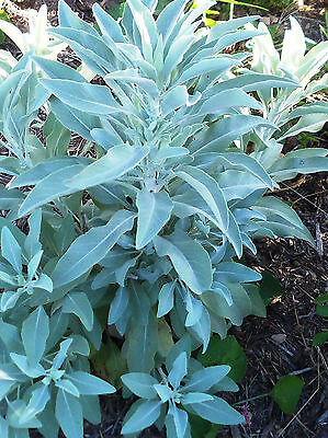 250+ White Sage SEEDS  / Indian Herb/ grow your own!! Salvia Apiana Packed 2018!