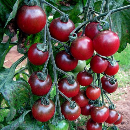 Tomato ROSELLA Cherry dark red tomatoes Ukraine 20 seeds D DOOKHOV Farmer/'s idea