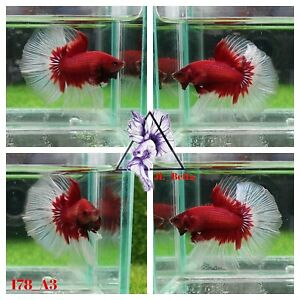 [178_A3]Live Betta Fish High Quality Male Fancy Over Halfmoon 📸Video Included📸