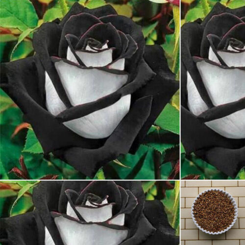 400 PCS Amazing Rose Seeds China Rare Black With White Rose Flower Seeds