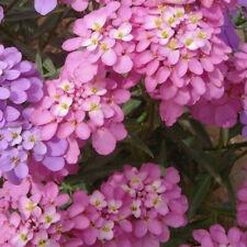 FLOWER CANDYTUFT IBERIS UMBELLATA DWARF FAIRY MIX 1050 SEEDS
