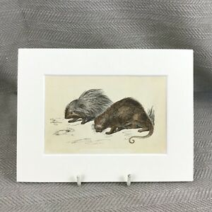 1853 Porcupine Wild Animali Naturale Storia Vittoriano Antico Originale Stampa