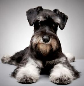 Image Is Loading New Giant Schnauzer Dog Greeting Card Dogs Puppies