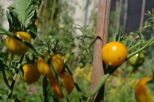 seeds de tomate cerise poire jaune 20 graines