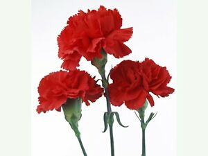 Red-Carnation-Flower-100-SEEDS-BUY-4-ITEMS-FREE-SHIPPING
