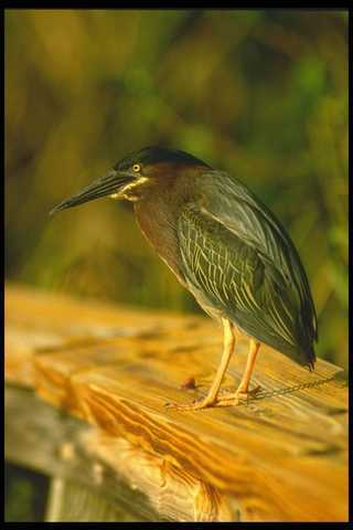 008187 Green Backed Heron A4 Photo Print Volumen Groß