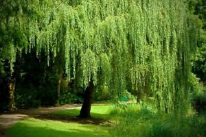 One-1-Golden-Weeping-Willow-Tree-Ready-to-Plant-Beautiful-Arching-Canopy