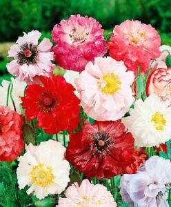 Graines Shirley Pavot Double Mix FLEURS DE PAPAVER Oriental jardin vivace Ukraine