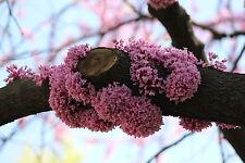 JUDASBAUM 20 Samen Cercis Siliquastrum schönste Blütenpracht Liebesbaum
