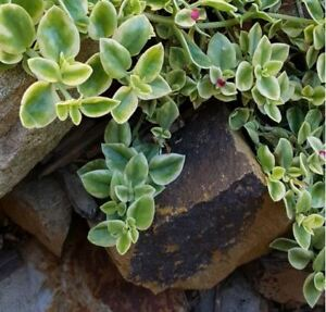 Details About Baby Sunrose Succulent Ground Cover Variegated Pack Of 20 Nsw Vic Qld Act Sa