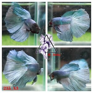 [235_A3]Live Betta Fish High Quality Male Fancy Over Halfmoon 📸Video Included📸