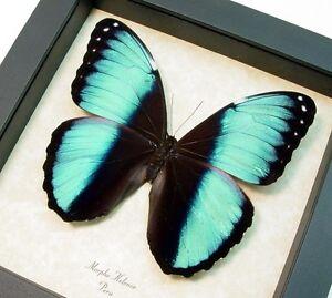 Image Is Loading Real Framed Morpho Helenor Banded Blue Morpho Butterfly