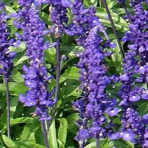 Salvia-Rhea-Seeds-Mealycup-Sage-Annual-Compact-Dense-Flowers-Rich-Blue-Reseeds
