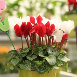usually pink purple or red these sweet little flowers have delicate upward facing petals and pretty variegated leaves cyclamen need to be watered - Red Flowering House Plants