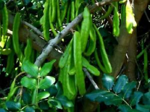 Ceratonia Siliqua 500 Saatgut Frische Johannisbrot