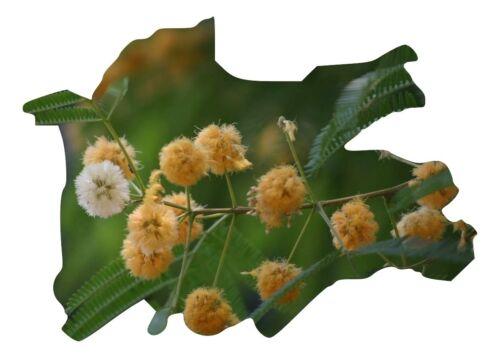 Albizia odoratissima 15 Samen Ceylon Rosenholz 15 seeds