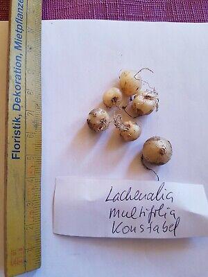 Lachenalia multifolia Konstable Zwiebel für Sammler Rarität begrenzte Anzahl