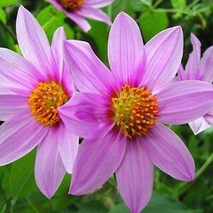 "Rare, unusual Dahlia tenuicaulis - Ever-blooming ""Tree Dahlia""!"