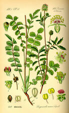Hierba Cobayas Hierbas seeds Mezcla Para Cobaya 2.000 semillas