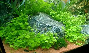NEU-1-Topf-Hydrocotyle-tripartita-Vordergrundpflanze