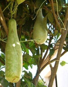 Seedeo ® Africaine Géants Calebasse (lagenaria Siceraria) 10 Graines-e (lagenaria Siceraria ) 10 Samen Fr-fr Afficher Le Titre D'origine
