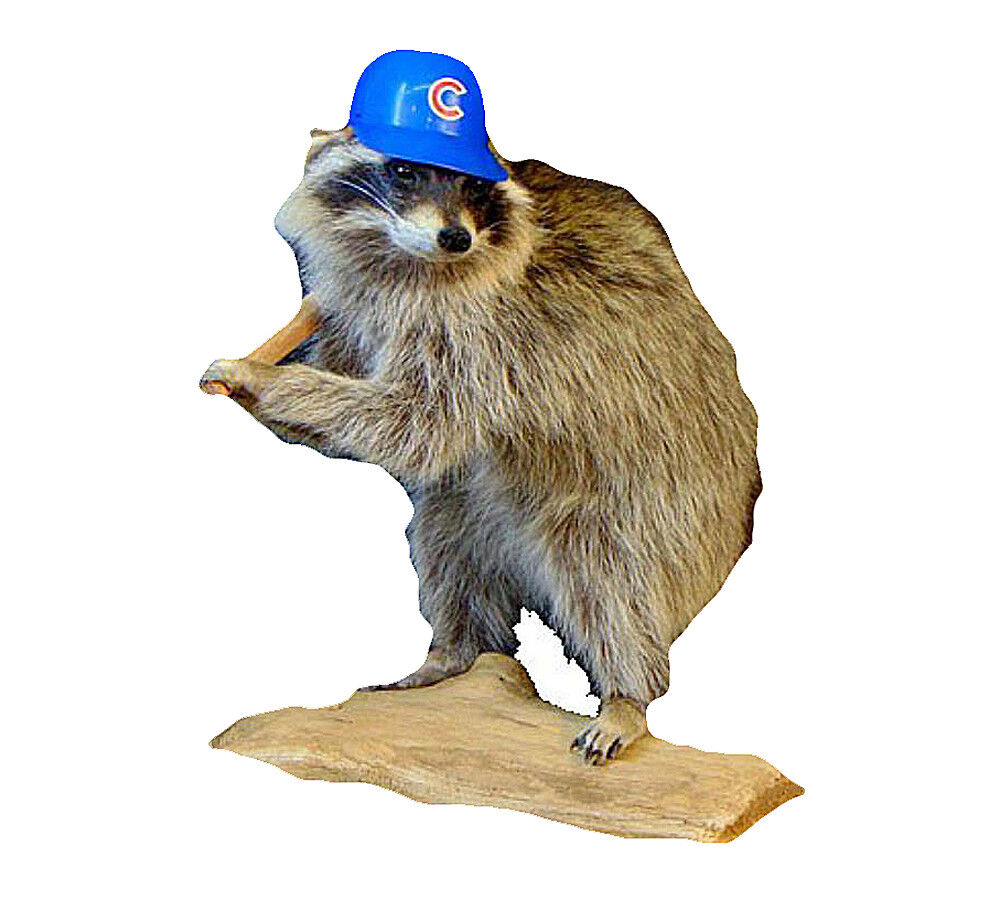 Cubs Gorra de béisbol mapache Taxidermia Estatua Animal montado en la parojo