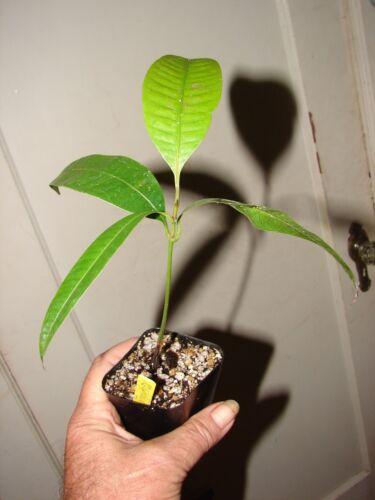 ~ maprang ~ bouea macrophylla Mango Fruit Tree Marian prune Live SML POTD Plant