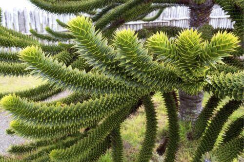 MONKEY PUZZLE TREE 10 SEEDS araucaria araucana