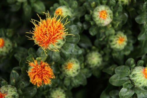 Färbersaflor Carthamus tinctorius Färberdistel TCM-Heilpflanze Hong-Hua