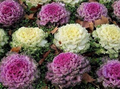 50 Seeds Dynasty Pink Flowering Cabbage Seed Garden Seeds flowering kale