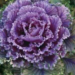 Pictorial Packet Vegetable Choi Sum Mr Fothergills 500 Seeds