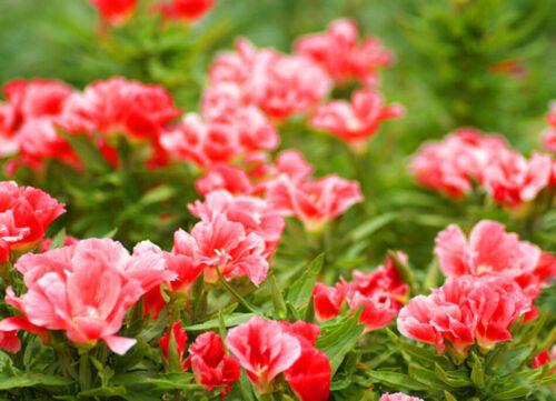 SALMON DOUBLE FLOWERED SYBIL SHERWOOD 1600 seeds GODETIA GRAND AZALEAFLORA
