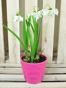 Artificial snowdrops potted plant spring flowers for home office image is loading artificial snowdrops potted plant spring flowers for home mightylinksfo