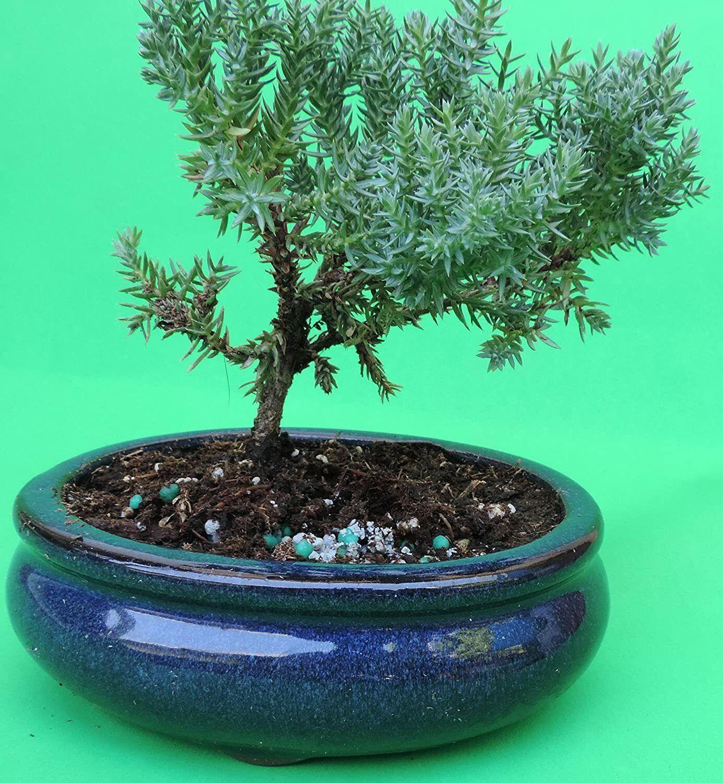 Green Mound Juniper Bonsai Tree Easy Care Beginner Plant House Decor For Sale Online Ebay