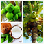 Coconut-Tree-Seeds-Bonsai-Tropical-Nutrition-Juicy-Fruit-plantes-vivaces-10Pcs miniature 1