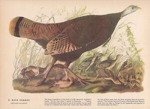 "1942 Vintage AUDUBON BIRDS #6 /""WILD TURKEY/"" Full Color Art Plate Lithograph"