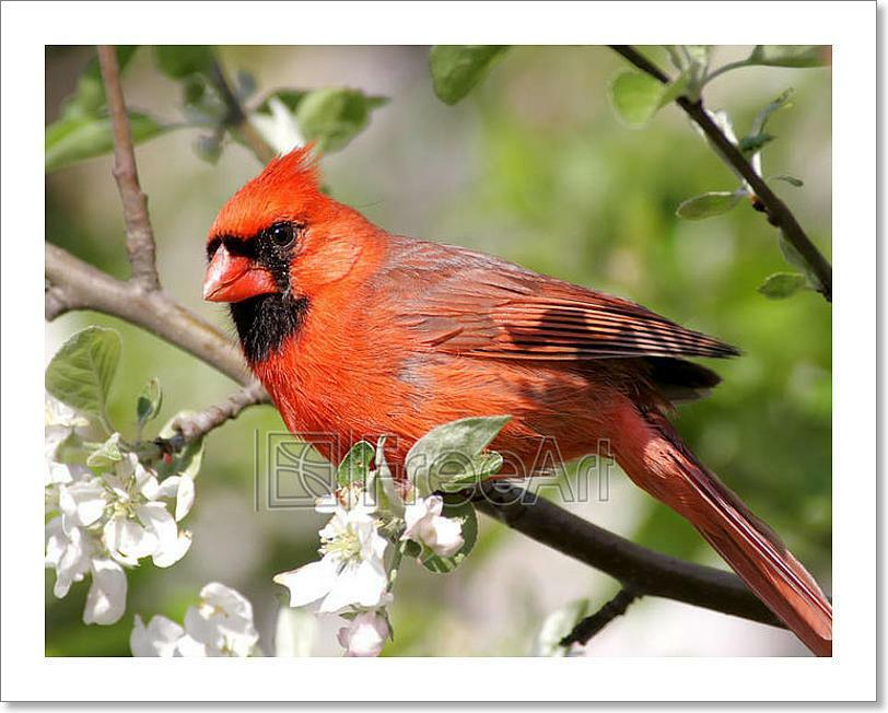 Male Northern Cardinal (Cardinalis Art Print Home Decor Wall Art Poster - I