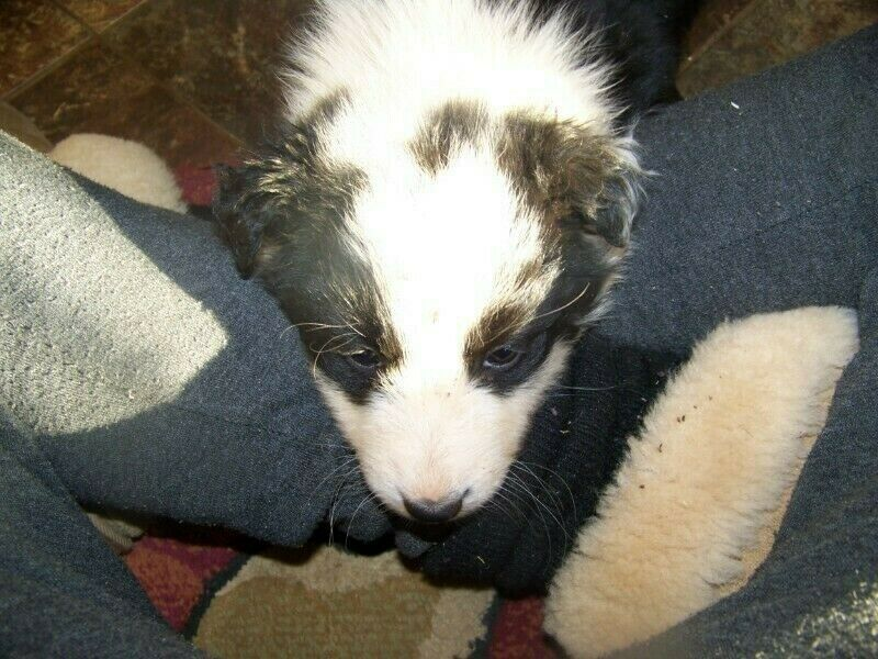 Male Border Collie/German Shepard Puppy for sale