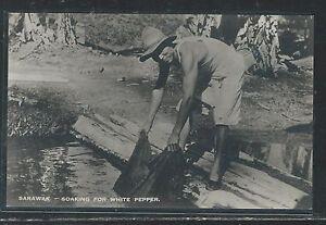 SARAWAK (P2707B) SOAKING WHITE PEPPER