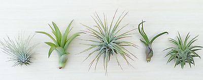 (P9) - 5 Tillandsia air plant sampler pack 9 - indoor outdoor houseplant lot