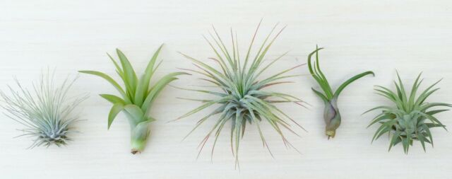 (P9) - 5 Tillandsia air plant sampler pack 9 - indoor outdoor houseplant lot