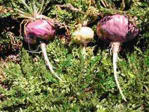 1000 Graines Lepidium Meyenii (noires Tubercule), également L. Peruvianum, Proie-afficher Le Titre D'origine Nous Avons Gagné Les éLoges Des Clients