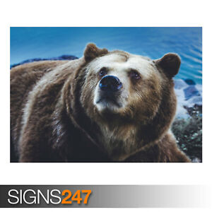 BIG-BROWN-BEAR-WILD-ANIMAL-AE915-Photo-Picture-Poster-Print-Art-A0-to-A4