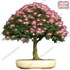 Raro Albizia Julibrissin Bonsai Árbol, Mimosa Seda -10 viable Semillas-Reino Unido Vendedor