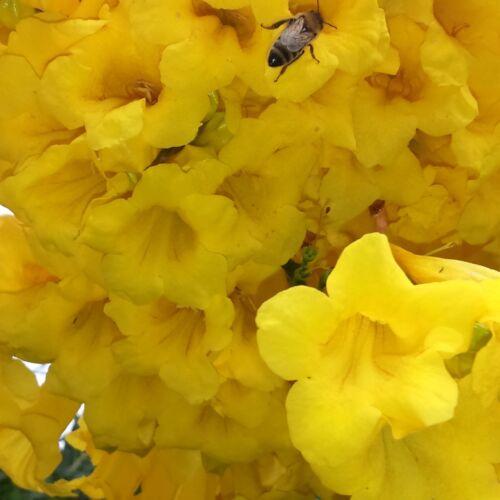 Tecoma stans 40 Graines Jaune Elder Bignonia Stans Trompette arbuste Bush