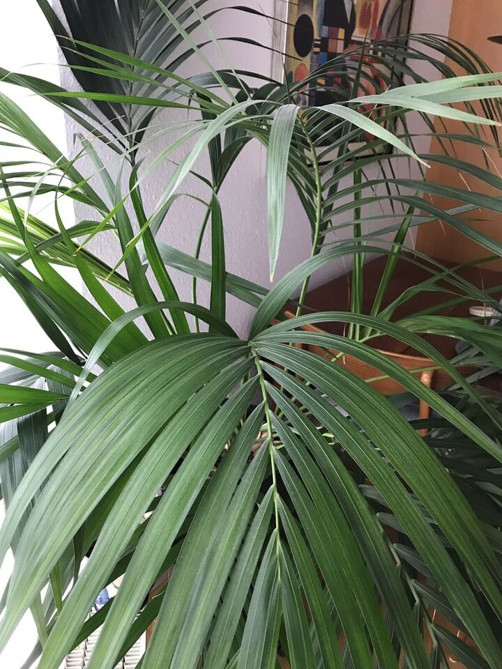Palme og krukke , Palme