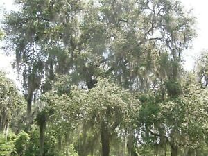 "#7426 TILLANDSIA USNEOIDES ""SPANISH MOSS"" Live, fresh off tree, air plant"