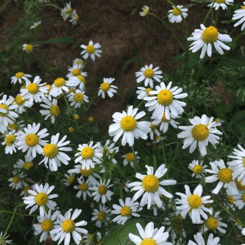 Kamille Matricaria recutita sehr alte Heilpflanze Teepflanze Frauenpflanze